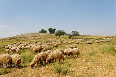 Sheep grazing at Mizpah, Tell en-Nasbeh.