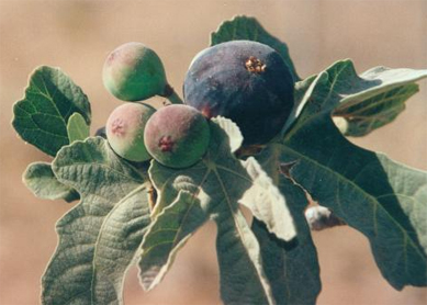 According to the Bible, Isaiah used figs to treat King Hezekiah