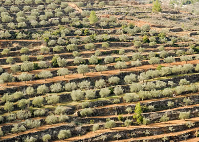 Hill with terracing and olive trees, Israel, 2012. Photograph by Todd Bolen.